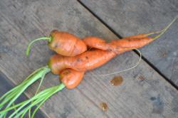 морковь выращивания сорта моркови