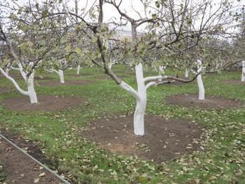 многосортовые прививки яблони груши