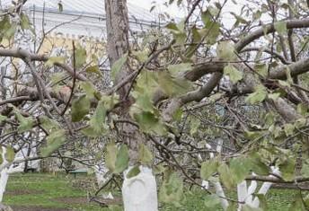 раны на коре яблони груши вишни сливы