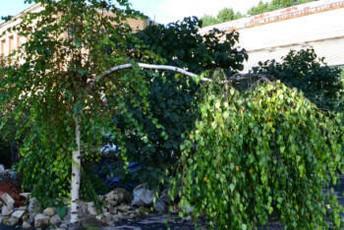 расщепление ствола и ветвей дерева