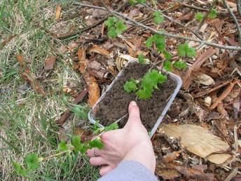 размножение ягодных кустов отводками