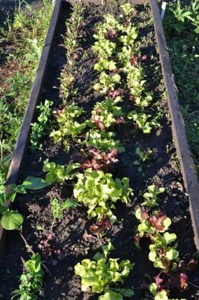 Сажать салат в открытый грунт 131