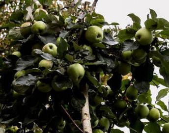 выбрать сорт яблони груши сливы вишни
