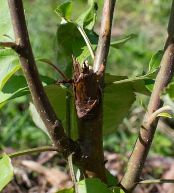 как защитить ствол штамб дерева
