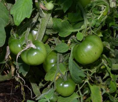 томат в теплице выращивание уход