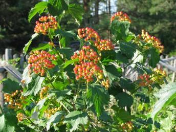 созревание плодов и ягод