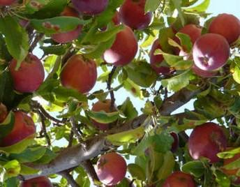 волчки и жировые побеги на яблоне